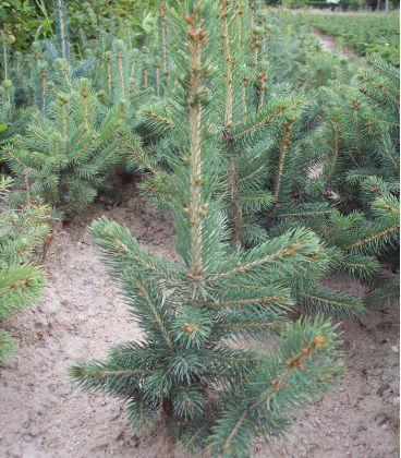 Picea Pungens Glauca / Epicea Pungens Glauca