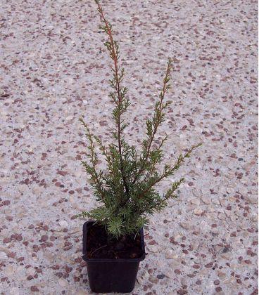 Juniperus Communis / Genevrier Commun