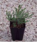 Sequoiadendron Giganteum / Sequoia Geant