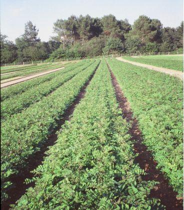 Robinia Pseudoacacia / Acacia Commun