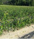 Sorbus Torminalis / Alisier