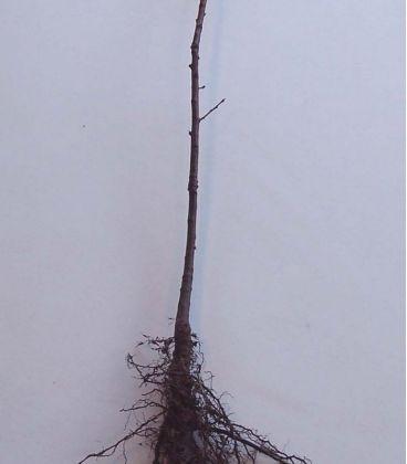 Quercus Robur / Chene Pedoncule, Commun