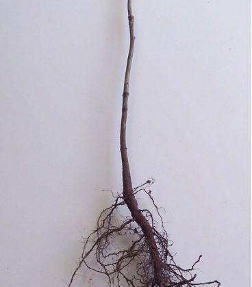 Quercus Rubra / Chene Rouge