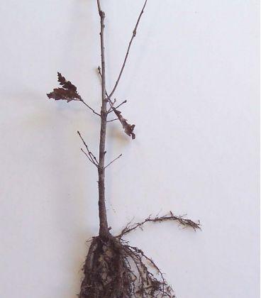 Quercus Petraea / Chene Rouvre, Sessile