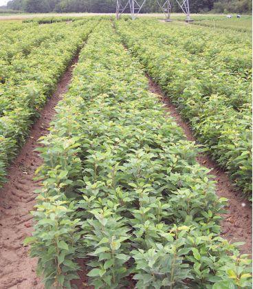 Prunus Avium Origine Non Sélectionnée / Merisier