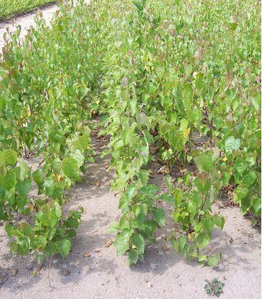 Betula Pendula Ou Verrucosa / Bouleau Commun