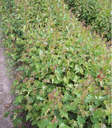 Betula Pendula Ou Verrucosa Origine Forestière / Bouleau Commun