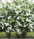 Viburnum Opulus Roseum / Boule de Neige