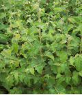 Betula Pubescens / Bouleau Pubescent