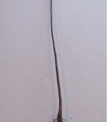 Rhamnus Frangula / Bourdaine