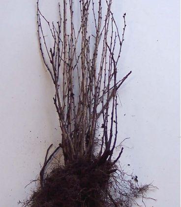 Berberis Vulgare / Epine Vinette