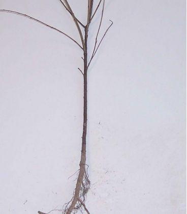 Prunus Mahaleb / Cerisier Sainte Lucie