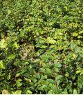 Carpinus Betulus Origine Forestiere / Charme Commun, Charmille