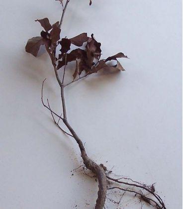 Quercus Ilicifolia / Chene de Banister