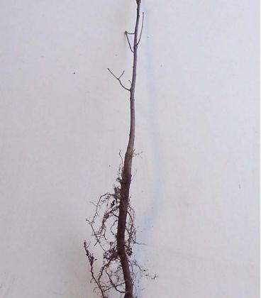 Quercus Palustris / Chene Des Marais