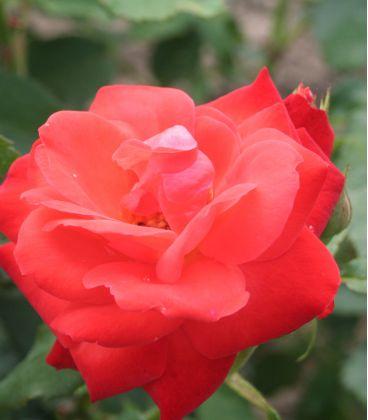 Rosier Polyantha Orange Sensation