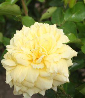 Rosier Polyantha Golden Delight