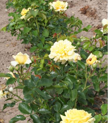 Rosier Polyantha Golden Delight