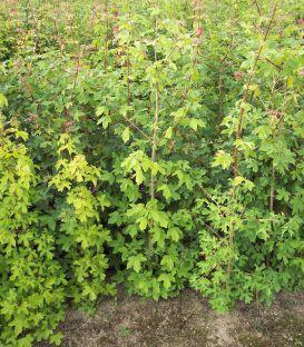 Acer Campestre Origine Forestiere / Erable Champetre