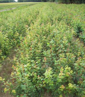 Acer Monspessulanum / Erable de Montpellier