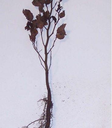 Fagus Sylvatica Purpurea / Hetre Pourpre