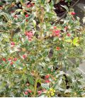 Ilex Aquifolium Alaska / Houx Alaska Vert