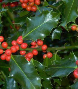 Ilex Aquifolium / Houx Vert (Commun)