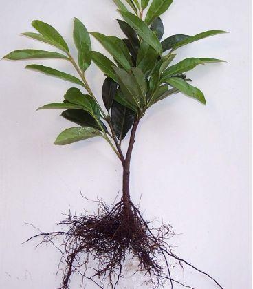 Prunus Laur. Caucasica / Laurier Du Caucase