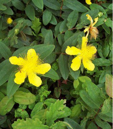 Hypericum Calycinum / Millepertuis