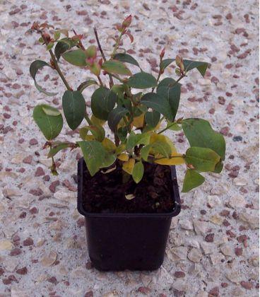 Vaccinium Corymbosum / Myrtille