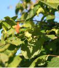 Corylus À Gros Fruits Longs / Noisetier à Gros Fruits Longs