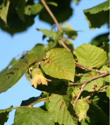 Corylus À Gros Fruits Ronds / Noisetier à Gros Fruits Ronds