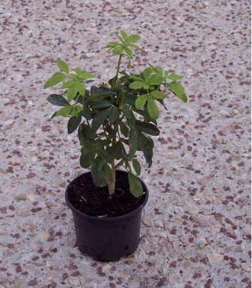 Choisya Ternata / Oranger Du Mexique