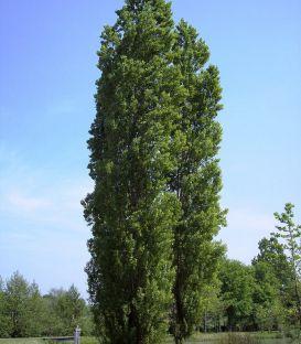 Populus Nigra Italica / Peuplier Noir D'Italie