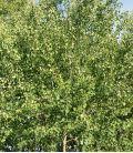 Populus Tremula / Peuplier Tremble