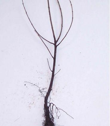 Rhamnus Catharticus / Nerprun Purgatif