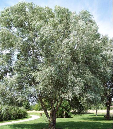 Salix Alba / Saule Blanc