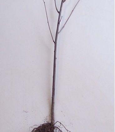 Sorbus Aucuparia / Sorbier Des Oiseaux