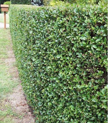 Ligustrum Ovalifolium / Troene Vert de Californie