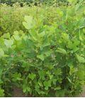 Liriodendron Tulipifera / Tulipier