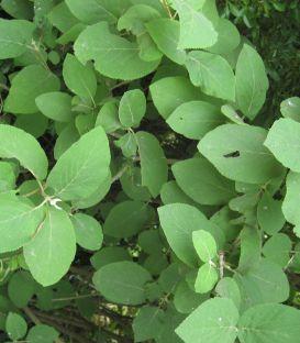 Viburnum Lantana / Viorne Lantane