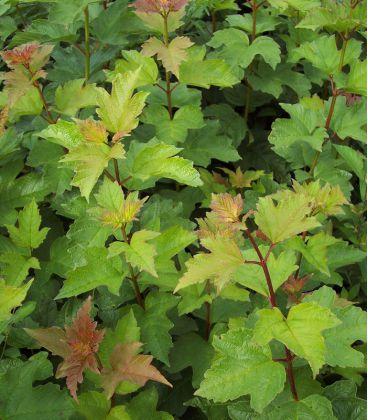 Viburnum Opulus / Viorne Obier