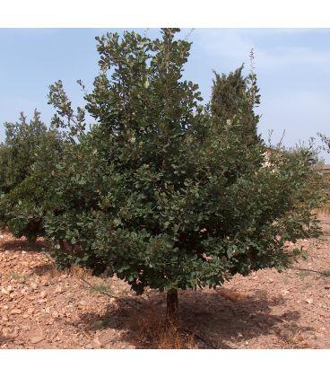 Quercus pubescens / Chêne pubescent
