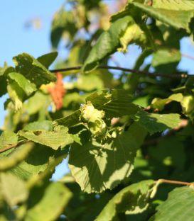 Noisetier à Gros Fruits Longs
