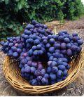 Vigne de Table Muscat de Hambourg