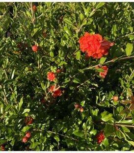 Punica gramatum Rubra Plena / Grenadier à fleurs doubles