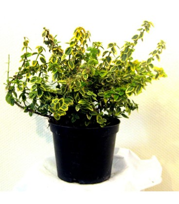 EUONYMUS fortunei Emerald'n Gold / FUSAIN EMERALD GOLD