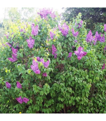 SYRINGA vulgaris Charles Joly / LILAS CHARLES JOLY