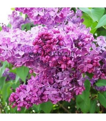 SYRINGA vulgaris Charles X / LILAS CHARLES X
