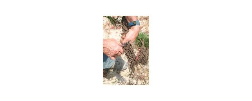 Mise en place d'un jeune plant forestier